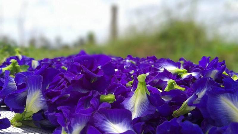 Những lưu ý khi sử dụng hoa đậu biếc để làm đẹp