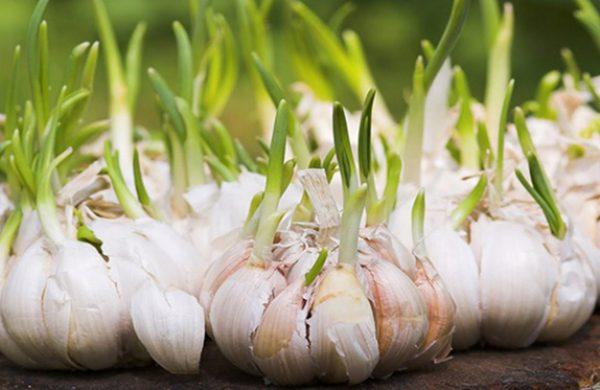 4 loại thực phẩm mọc mầm không độc, tốt cho sức khỏe